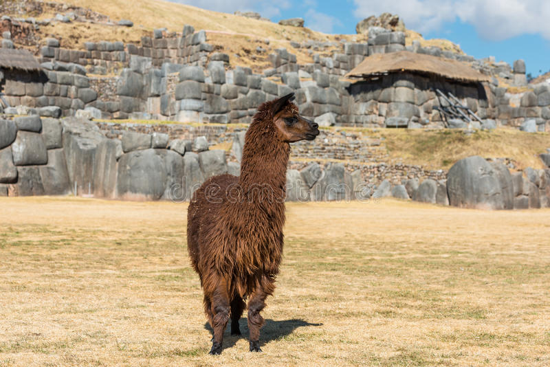 Альпака на руинах Sacsayhuaman в перуанских Андах на Cuzco Перу стоковые изображения rf