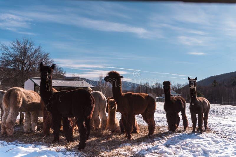 Альпаки в зиме стоковая фотография rf