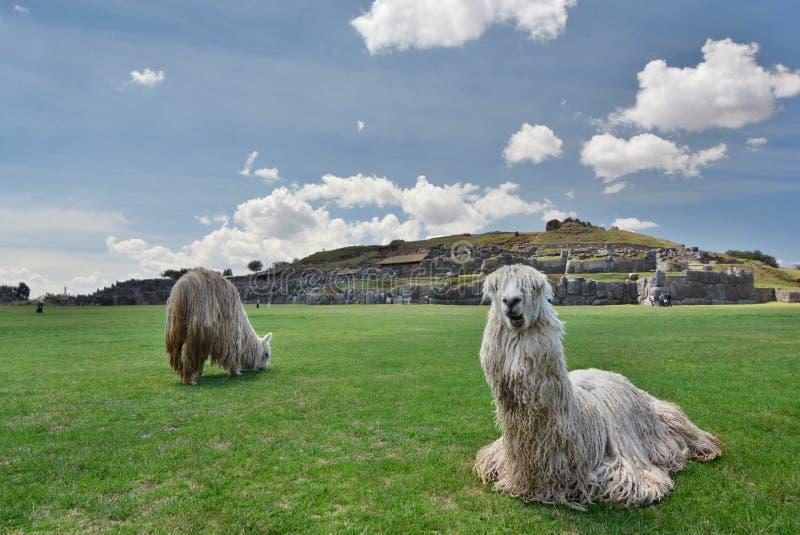 Альпаки на месте inca Saqsaywaman Cusco Перу стоковые фотографии rf