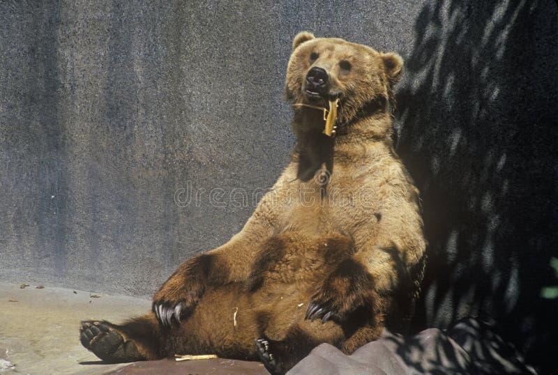 Аляскский бурый медведь на зоопарке Сан-Диего, CA , gyas arotos ursus стоковое изображение