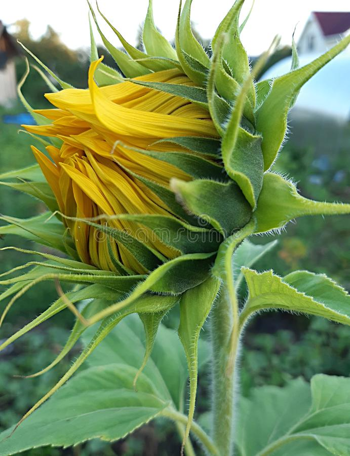 А sunflower Bud close up stock photos