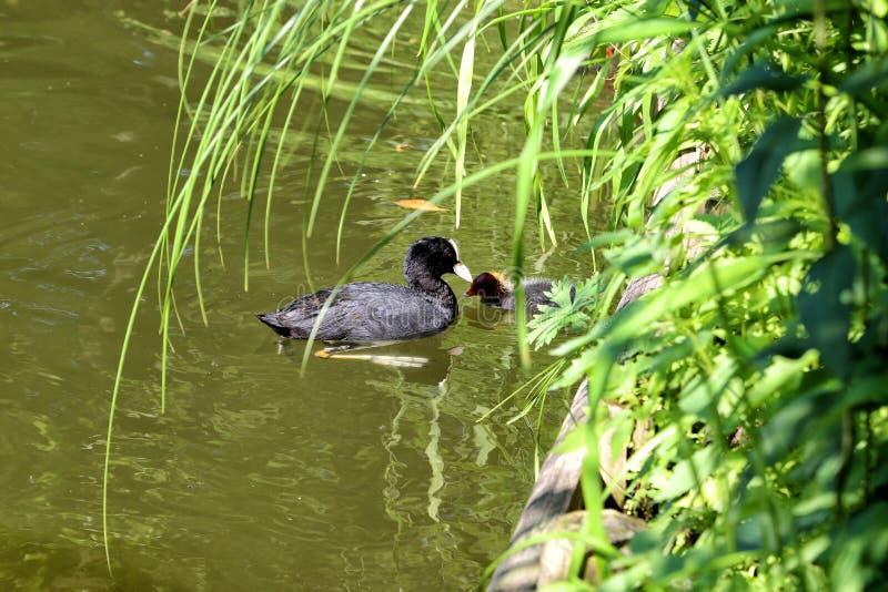 ?tra commun de Fulika de canard d'oiseaux aquatiques images stock