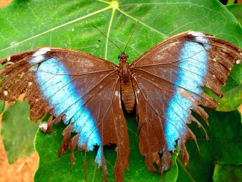 бабочка Амазонкы утлая стоковые фотографии rf