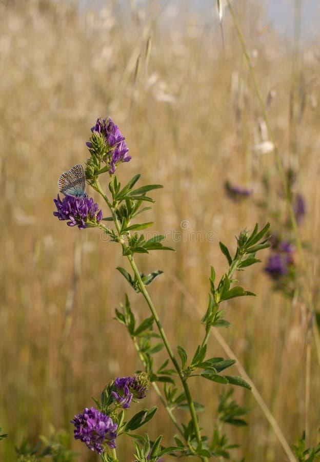 Бабочка Брайна Argus на цветках альфальфы стоковые изображения