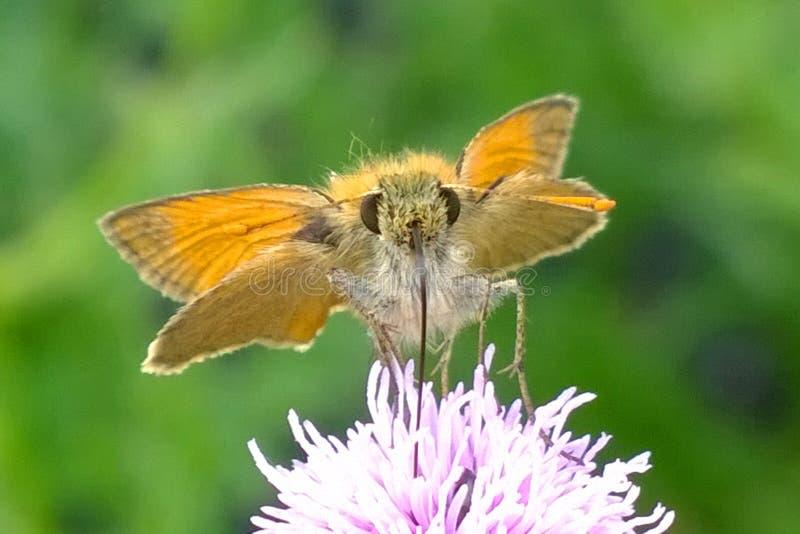 Бабочка Брауна оранжевая питаясь на thistle стоковая фотография rf