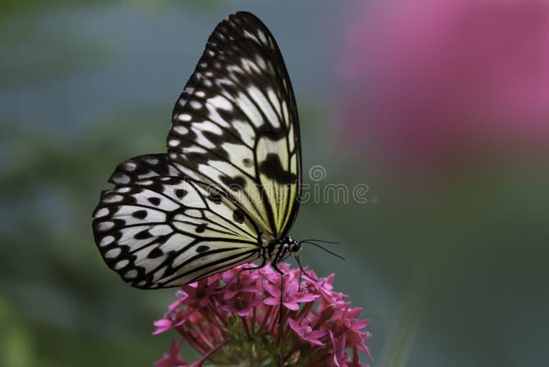 Бабочка бумаги риса стоковые изображения