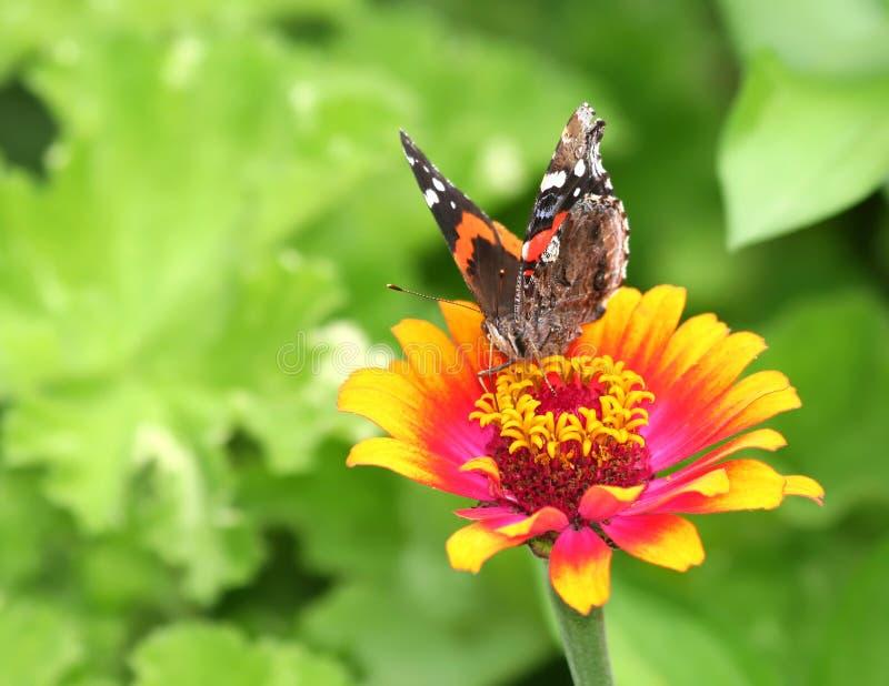 Бабочка Ванессы Atalanta на померанцовом и розовом цветке Zinnia стоковые изображения rf