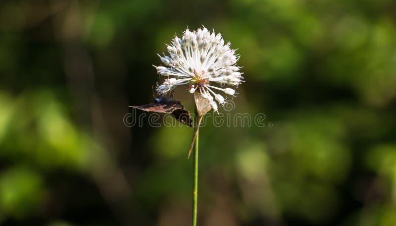 Бабочка вися вне на одуванчике стоковое изображение rf