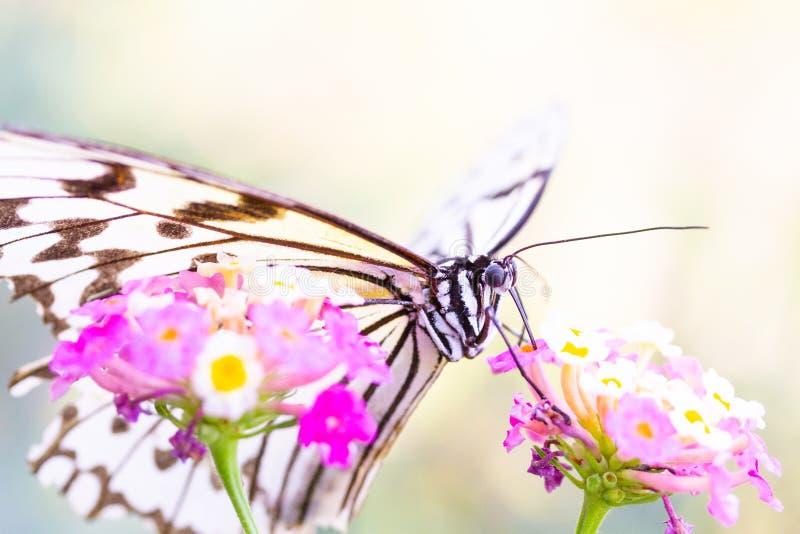 Бабочка всасывая нектар розового цветка стоковые изображения rf