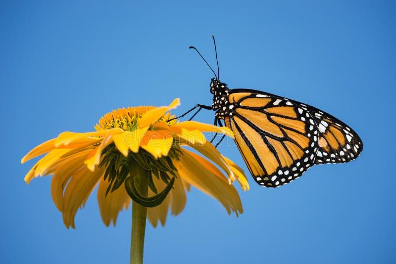 бабочка вытекла монарх заново стоковое изображение rf