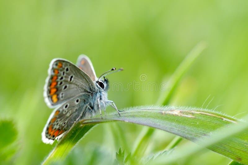 Бабочка в естественной среде обитания (plebejus argus) стоковые фотографии rf