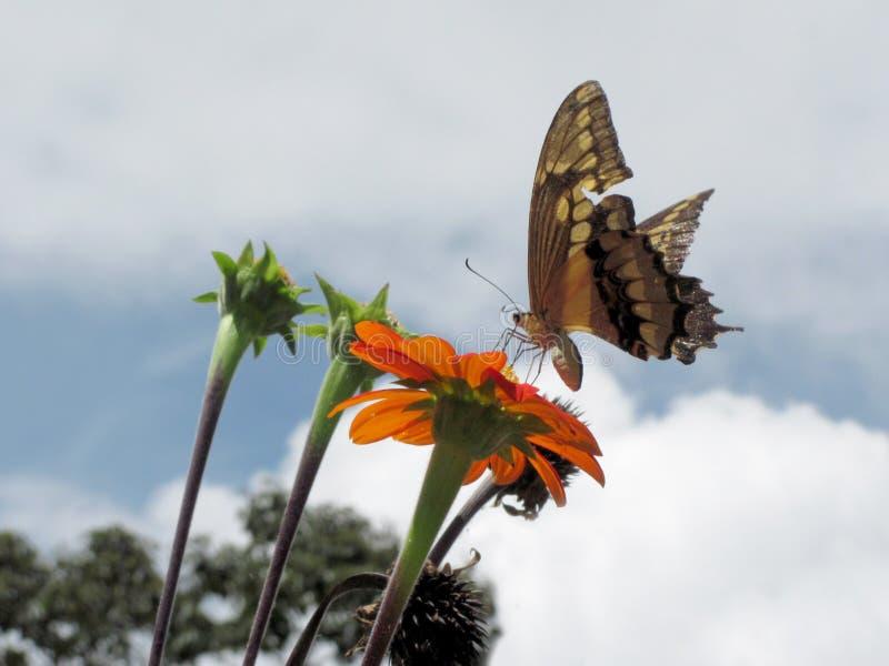 Бабочка в красном цветке стоковые фотографии rf