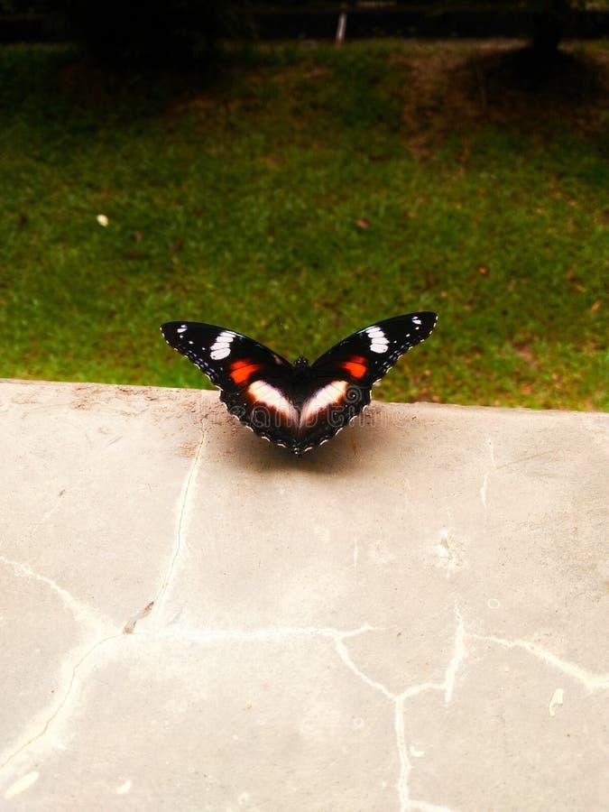 Бабочка влюбленности стоковая фотография rf