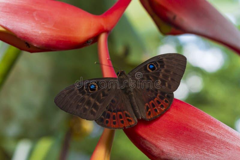 Бабочка в nubes Las запаса в джунглях Чьяпаса стоковое фото