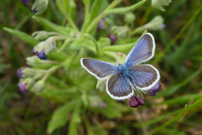 Бабочка голубой Адонис Голубой Argus стоковые изображения