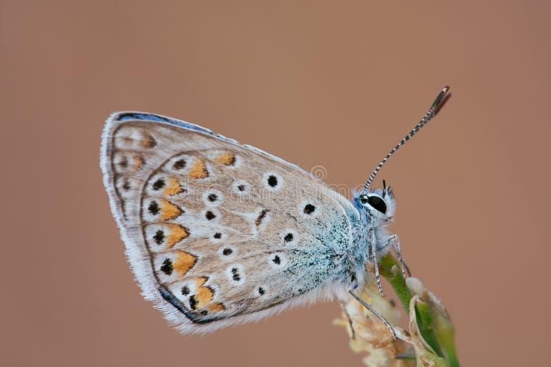Бабочка голубянок на цветке стоковые фотографии rf