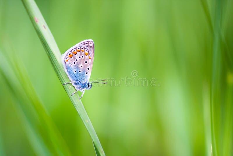 Бабочка голубянок на цветке стоковое фото rf
