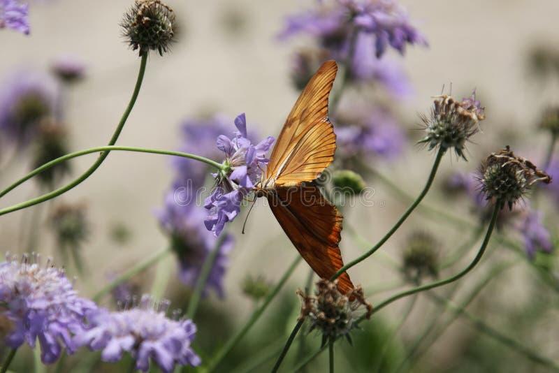Бабочка Джулии стоковая фотография