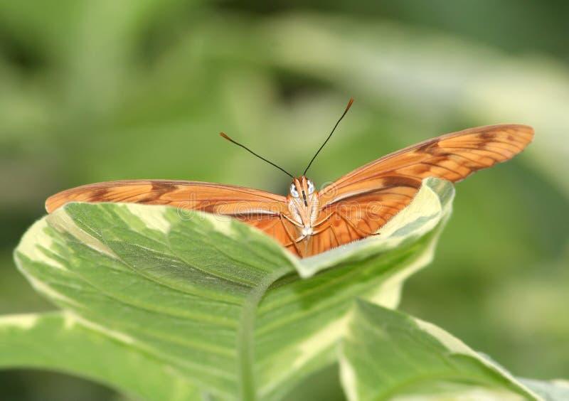 Бабочка Джулии Dryas (iulia dryas) на зеленых лист стоковые изображения