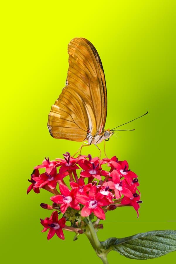 Бабочка Джулии Longwing стоковые фотографии rf