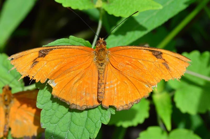 Бабочка Джулии Longwing стоковое фото