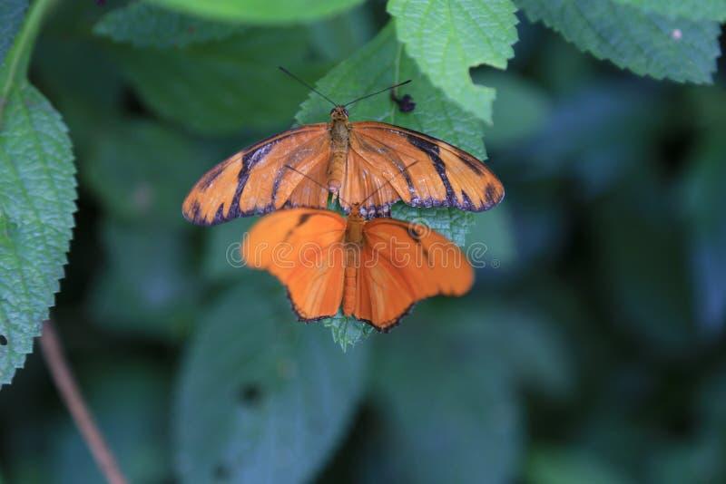 Бабочка Джулии Longwing Dryas стоковые фотографии rf
