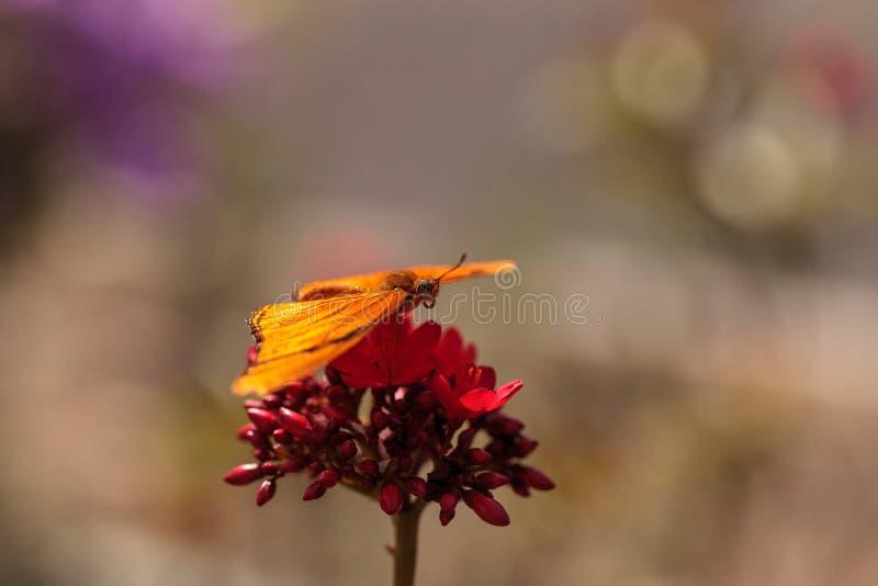 Бабочка Джулии Longwing, iulia Dryas стоковые изображения rf