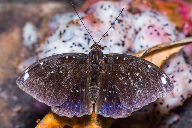 бабочка ерц-герцога Сине-пятна стоковое изображение