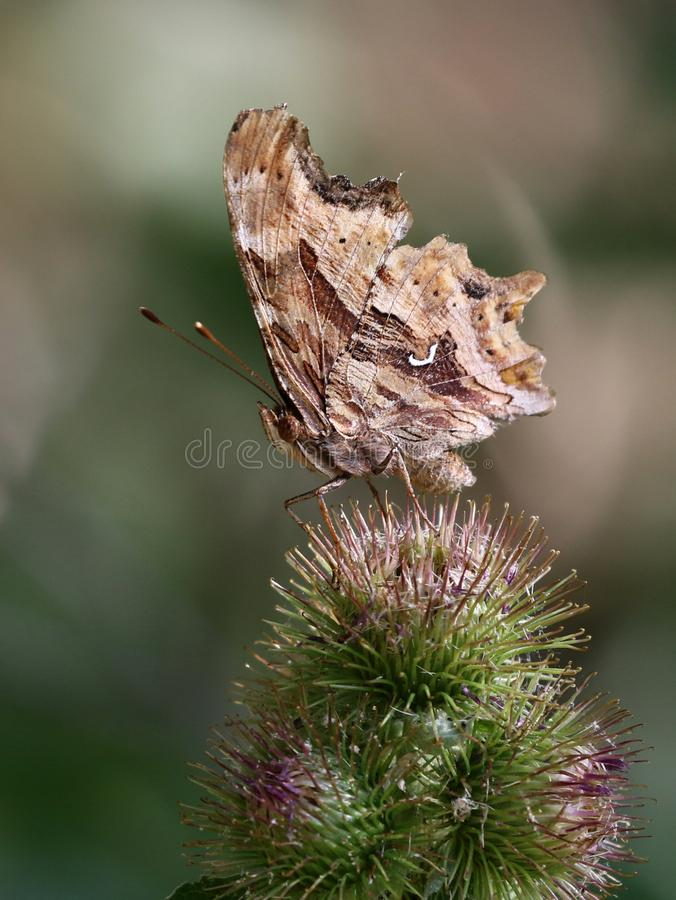 Бабочка запятой сатира на Thistles стоковое фото rf