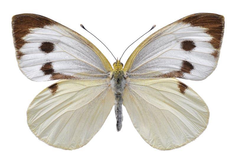 бабочка изолировала большую белизну стоковые фотографии rf