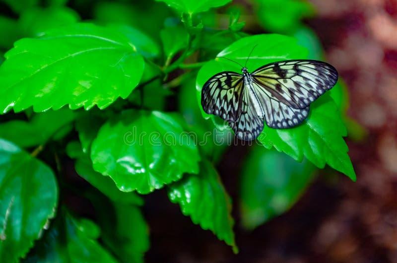 Бабочка и завод Имя бабочки бабочка нимфы дерева, бабочка рисовой бумаги стоковые изображения