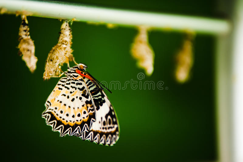 Бабочка и кокон стоковое фото rf