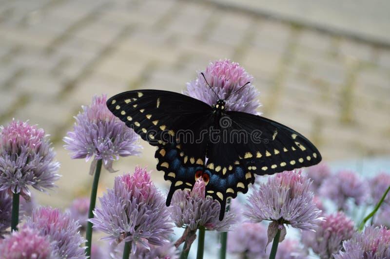 Бабочка кабеля ласточки стоковая фотография rf