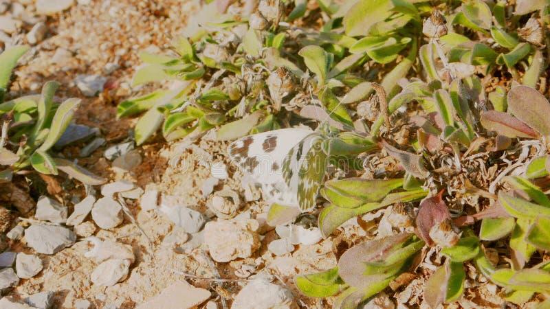 Бабочка 1 капусты белая стоковые изображения