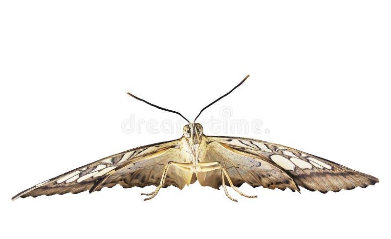 Бабочка клипера готова лететь Вид спереди, изолированное на белой предпосылке стоковая фотография