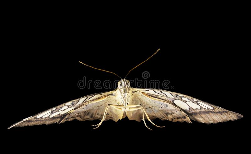 Бабочка клипера готова лететь Вид спереди, изолированное на черной предпосылке стоковое фото rf