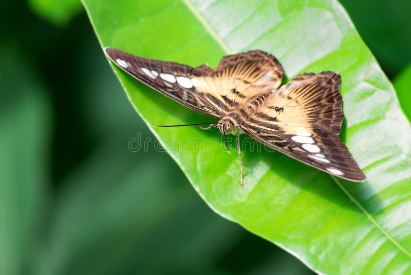 Бабочка клипера - Parthenos sylvia стоковое изображение