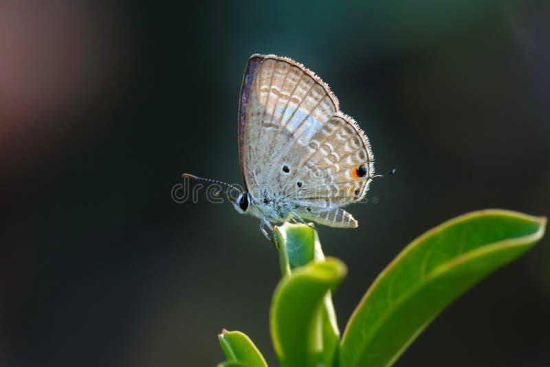 Бабочка, конец вверх бабочки Prosotas Норы стоковые изображения