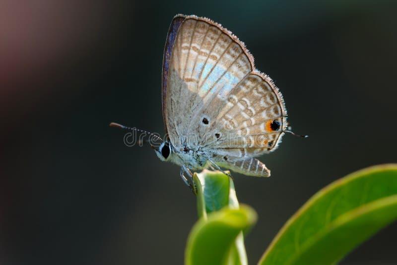 Бабочка, конец вверх бабочки Prosotas Норы стоковые фотографии rf