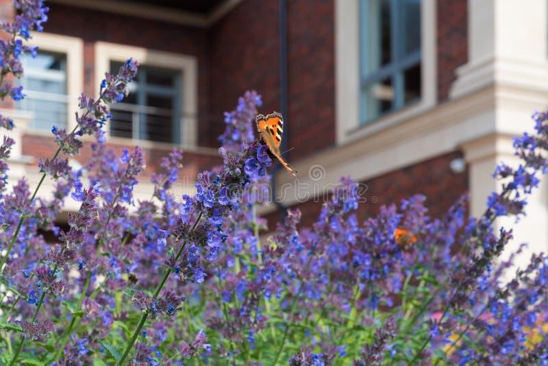 Бабочка крапивницы сидит на пурпурном ataria ¡ Nepeta Ð цветков против запачканной предпосылки частного дома красного кирпича стоковые фотографии rf
