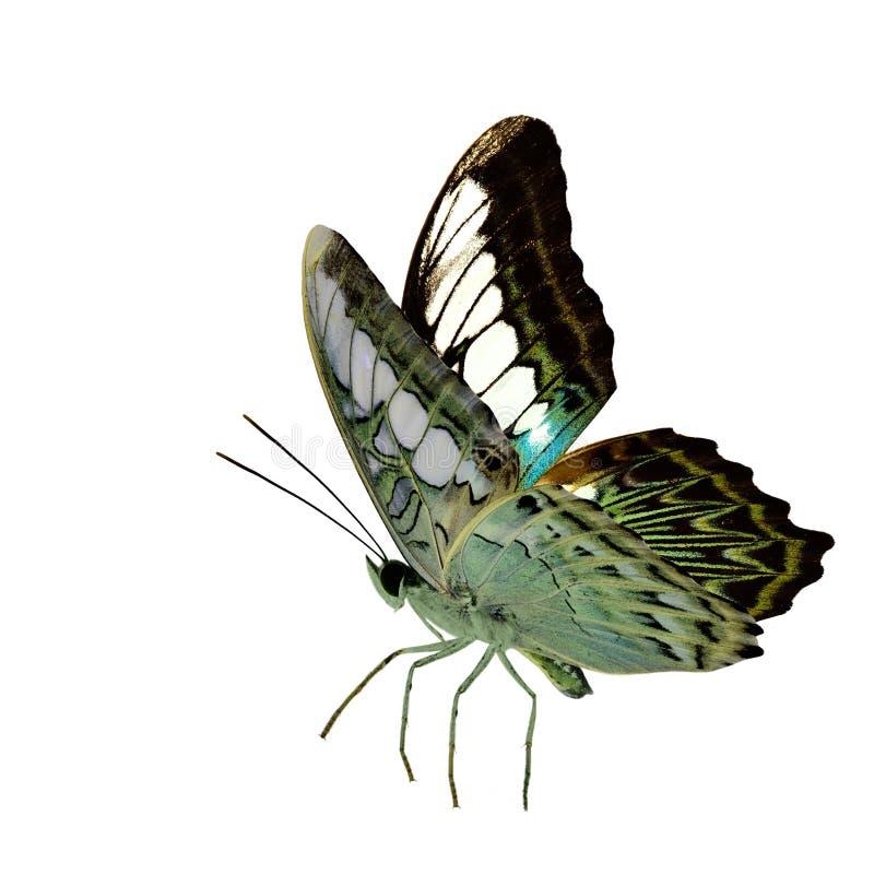 Бабочка красивого камуфлирования зеленая, клипер (Parthenos sylvia) в естественном профиле цвета с полно подгоняет протягивающ из стоковая фотография rf