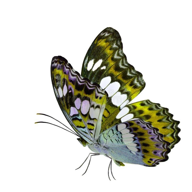 Бабочка красивого летания желтая, общий командир (procris moduza) с протягиванными крыльями в причудливом профиле цвета изолирова стоковое фото rf