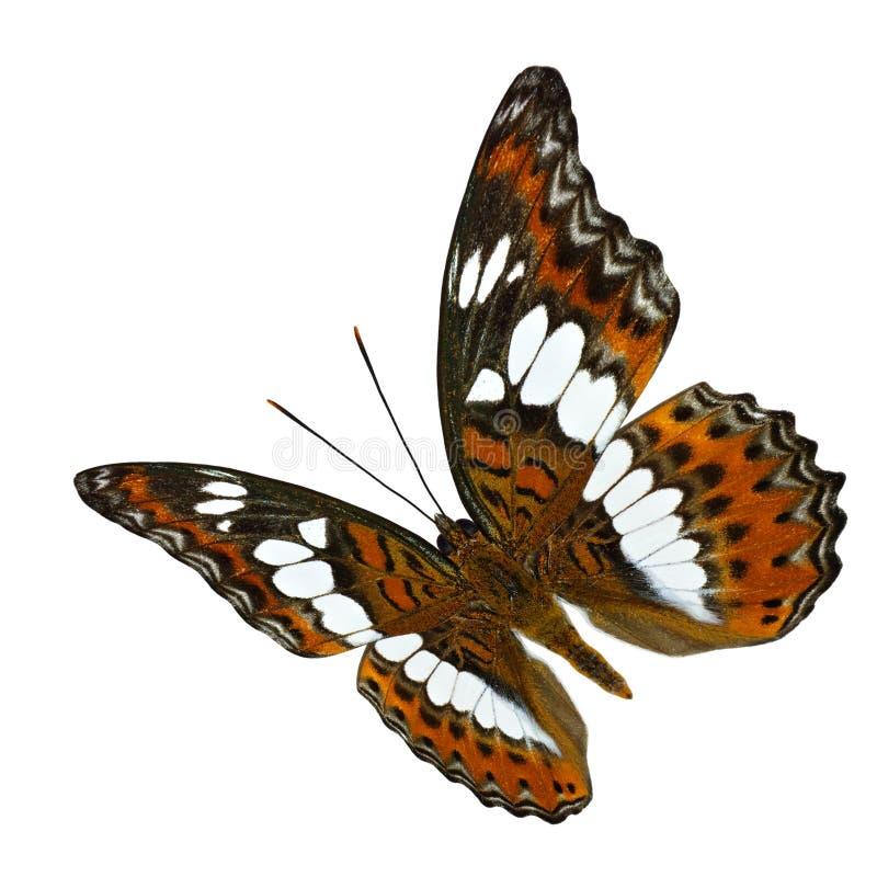 Бабочка красивого летания оранжевая, общий командир (procris moduza) с полностью протягиванными изолированными крыльями в естеств стоковое изображение rf