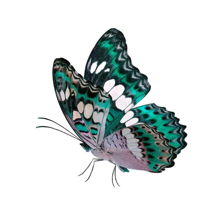 Бабочка красивого летания яркая ая-зелен, общий командир (procris moduza) с протягиванными крыльями в причудливом профиле цвета и стоковое изображение