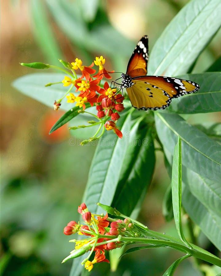 бабочка красотки стоковые фото