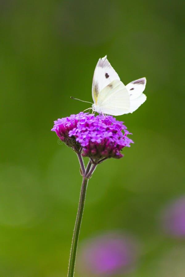 Бабочка крупного плана на цветке стоковое фото rf