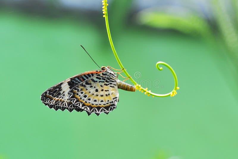 Бабочка кладя яичка стоковые изображения rf