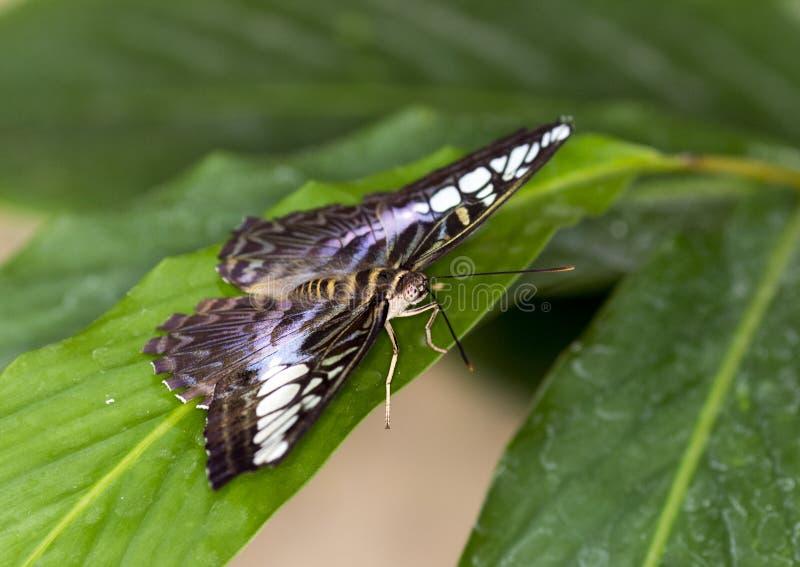Бабочка клипера макроса голубая стоковые фотографии rf