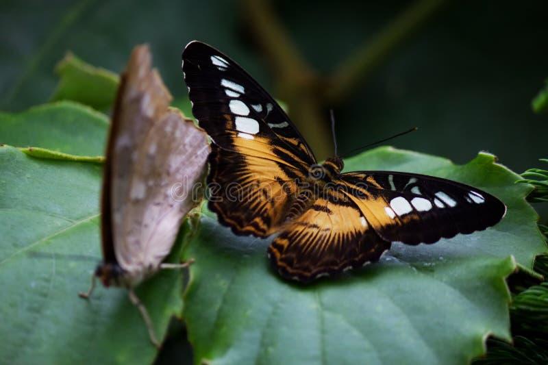 Бабочка клипера на лист стоковое фото rf