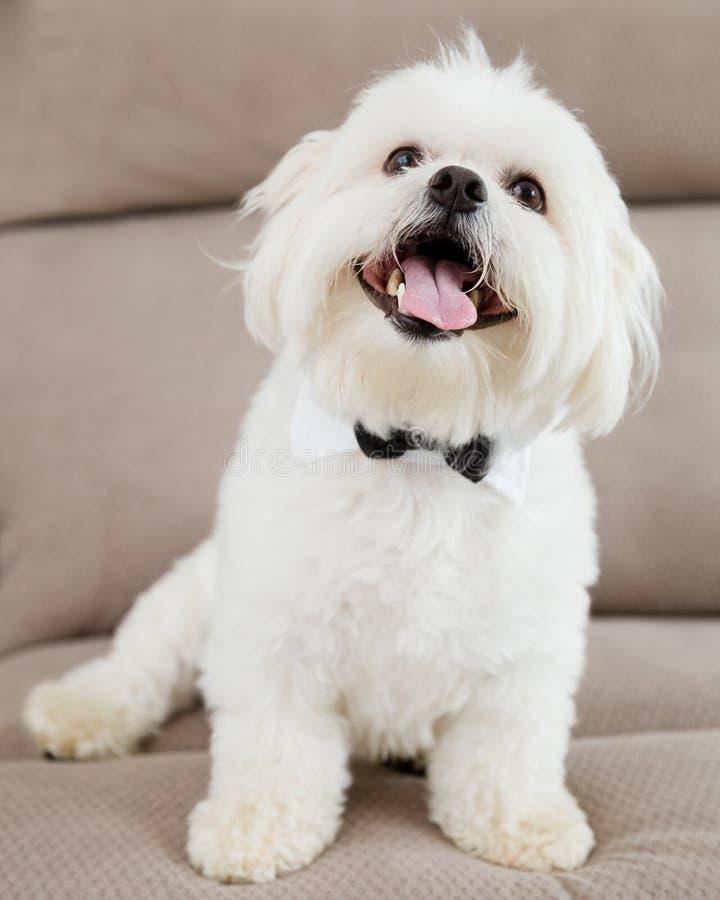 Бабочка мальтийсной собаки нося стоковые изображения